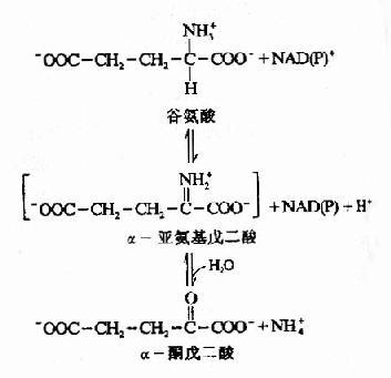 谷氨酸脱氢酶催化的氧化脱氢反应