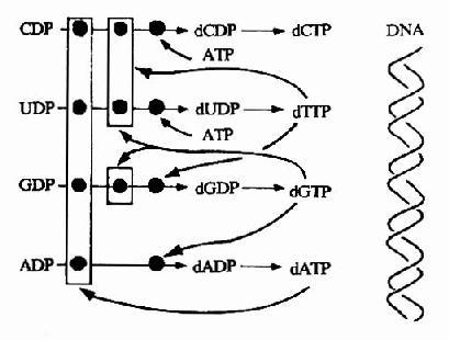 脱氧核苷酸合成调节网络