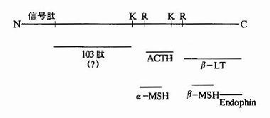 POMC作为多种活性物质的前体