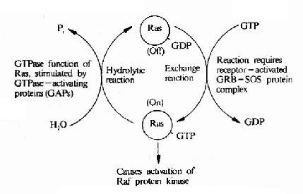 Ras的活化及其调控因子