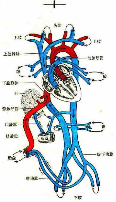 胎儿血循环