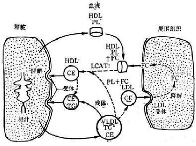 HDL代谢特点