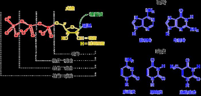 核苷酸結構