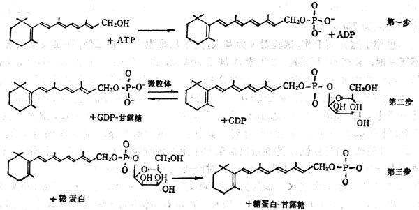 VA在糖蛋白合成中的作用