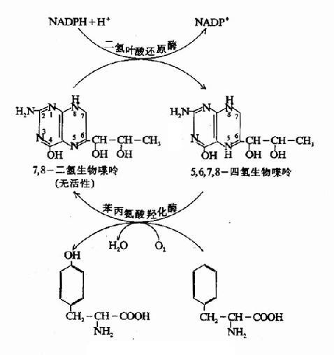 酪氨酸的生成
