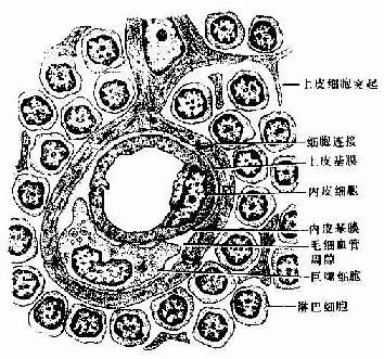血-胸腺屏障结构模式图