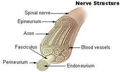Illu nerve structure.jpg