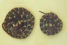 金钱白花蛇