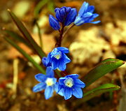 二叶绵枣儿 (Scilla bifolia)