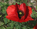 Red Poppy Papaver Flower Closeup 2049px.jpg