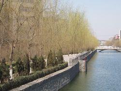 垂柳 Salix x babylonica