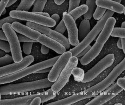 大肠杆菌(E. coli)