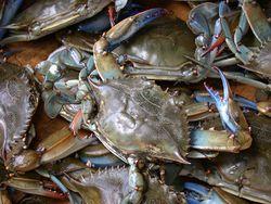 蓝蟹(Callinectes sapidus)