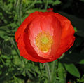 Red Poppy Papaver Flower Center 2104px.jpg