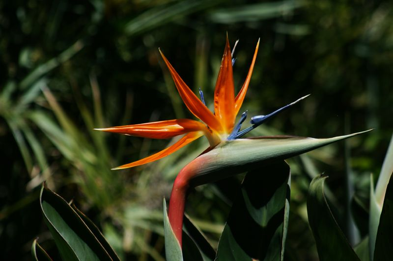 文件:Bird of Paradise flower.JPG