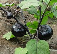茄子的药用价值功效