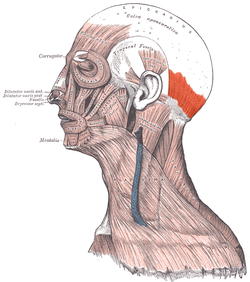 Musculus occipitalis.png