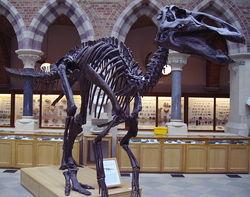 牛津大学自然史博物馆中展览的埃德蒙顿龙骨骼