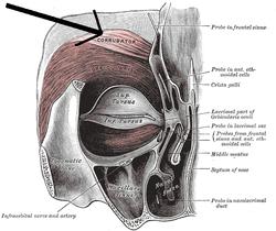 Musculuscorrugatorsupercilii.png