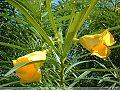 黄花夹竹桃