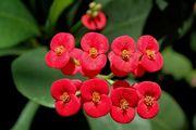 Euphorbia Milii flowers.jpg