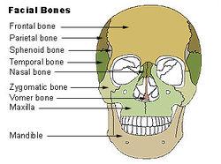 Illu facial bones.jpg