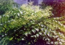 龙牙楤木叶