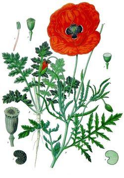 《科勒药用植物》(1897), Papaver rhoeas