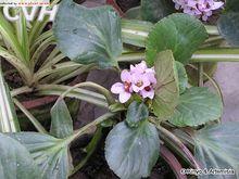 长瓣马铃苣苔
