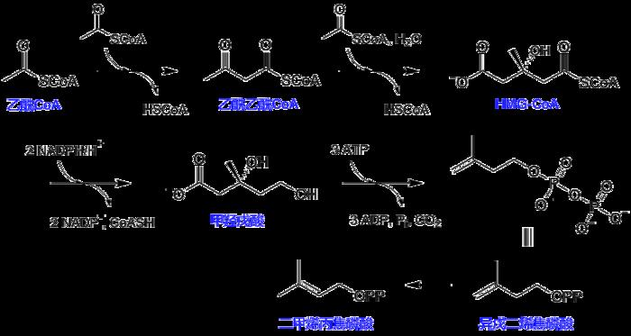 甲羥戊酸途徑