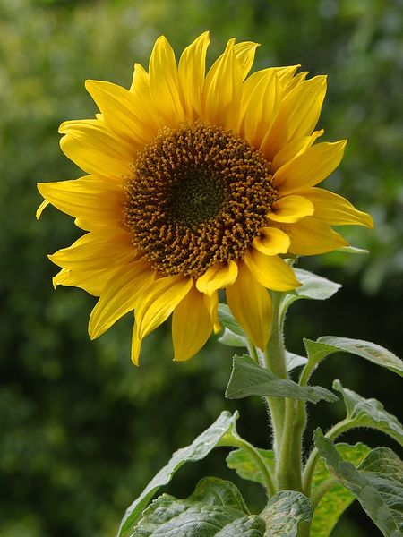 File:A sunflower.jpg