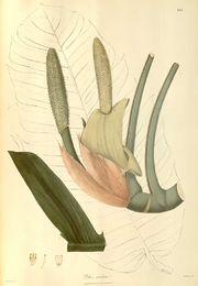 Epipremnum pinnatum.jpg