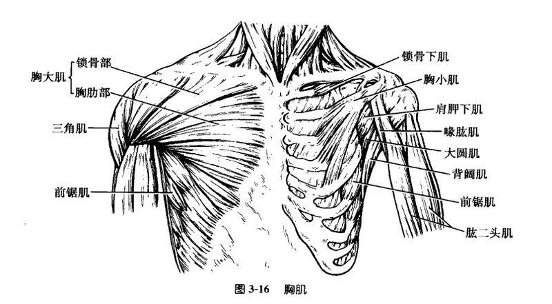 File:胸大肌.jpg