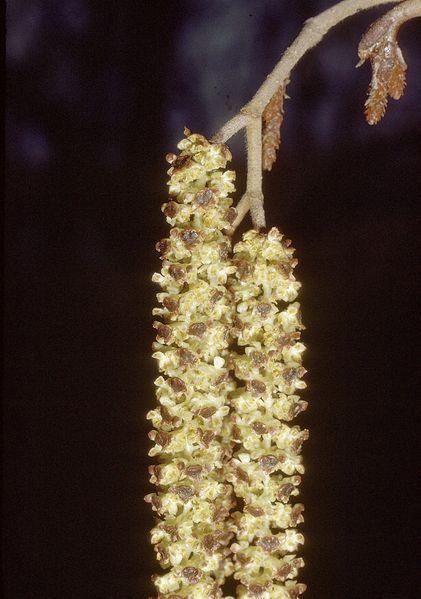 文件:Alnus incana rugosa catkin.jpg