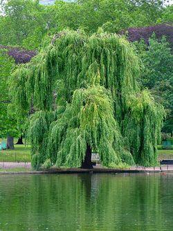 垂柳 Salix × sepulcralis