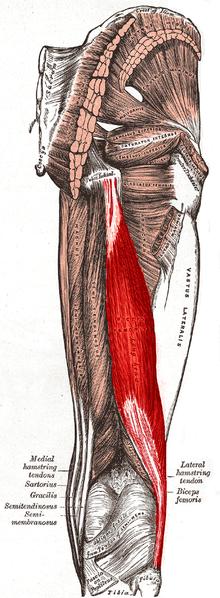 文件:Biceps femoris muscle long head.PNG