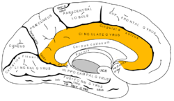 Gray727 cingulate gyrus.png