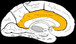 Gray727 cingulate gyrus.png