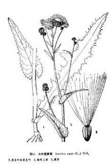 大葉苣蕒菜