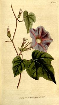 《植物學雜誌》(1793)Convolvulus nil