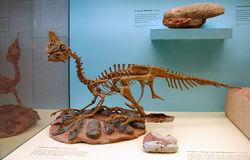 一個未命名偷蛋龍科的骨架與蛋巢,位於森肯貝格博物館