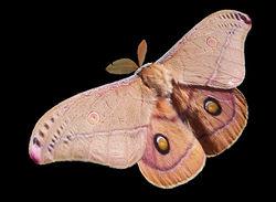 天蚕蛾的一种(Opodiphthera eucalypti)