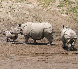 印度犀牛 Rhinoceros unicornis